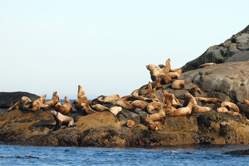 Sea Lions on McInnes Island, one hour from the Shearwater, British Columbia charter fishing base.